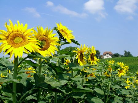 botanical farms: Sunflowers field with a background hill Stock Photo