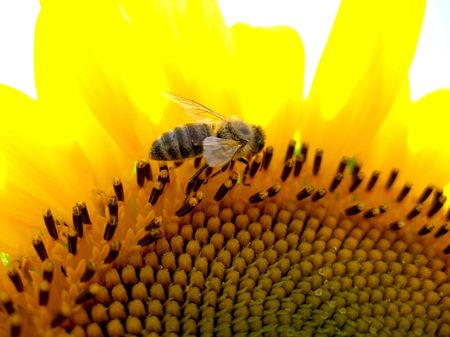 Honey bee collecting pollen close up 3 Stock Photo - 472693