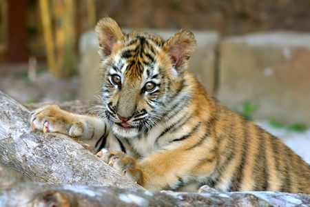 parentage: A tiger cub of mixed Bengal and Siberian parentage playing in its enclosure