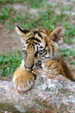 A tiger cub of mixed Bengal and Siberian parentage playing in its enclosure photo