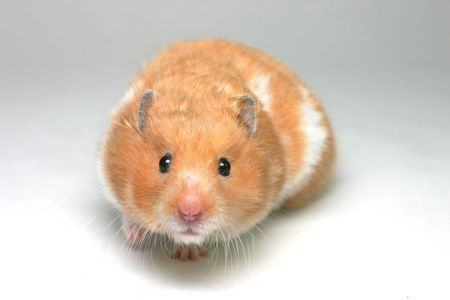 white backing: A brown and white Syrian hamster on white card backing