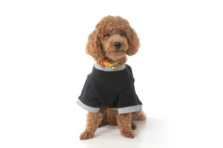 Small brown toy poodle with a black shirt and grey collar sitting photo