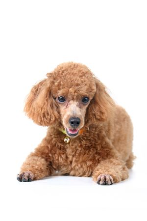 professionally: Brown toy poodle in classic poodle cut groomed professionally Stock Photo