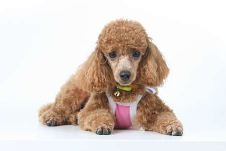 Brown toy poodle in classic poodle cut in pink princess top photo