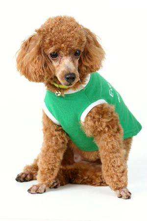 wooly: Brown toy poodle in classic poodle cut in green shirt