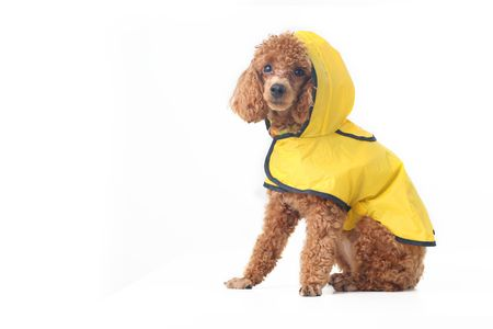 wooly: Brown toy poodle in classic grooming wearing yellow rain coat Stock Photo