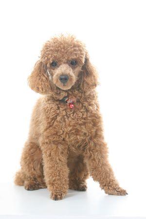 miniature breed: Brown caniche toy con cl�sicos de aseo en un plantean