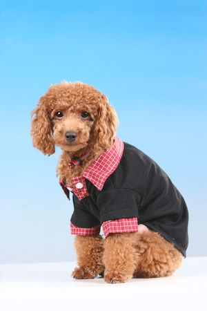 collared shirt: Brown toy poodle in red collared shirt Stock Photo