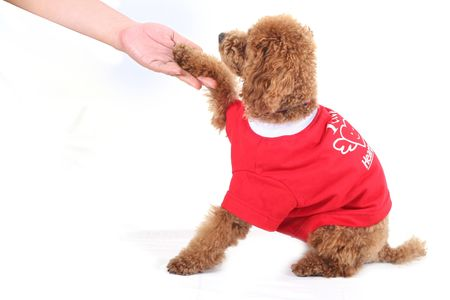 Toy poodle in red shirt shaking hand with human photo