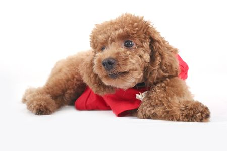 Toy poodle with puppy cut in large red T-shirt  photo