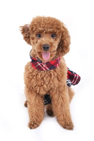 Toy poodle in red checkered dress skirt  photo