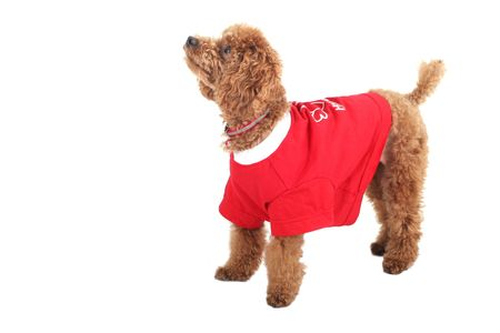 red tshirt: Toy poodle with puppy cut in large red T-shirt  Stock Photo