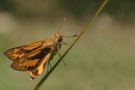 skipper: Orange skipper butterfly Stock Photo