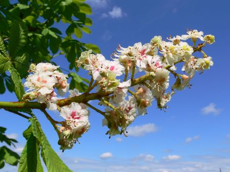 aesculus hippocastanum: Aesculus hippocastanum (blossom of horse-chestnut tree)