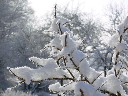 rose-bush: Rosebush pokryte śniegiem