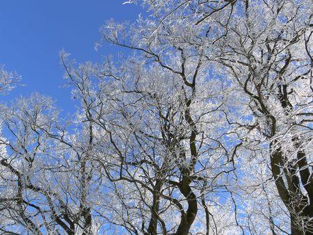 Hoar-frosted tree