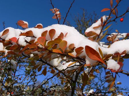 Colorful leaves of barrberry covered with snow3 photo