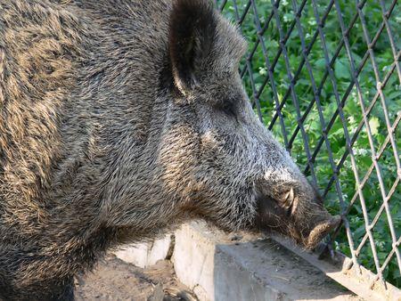 crossbars: Captivity. Wild boar