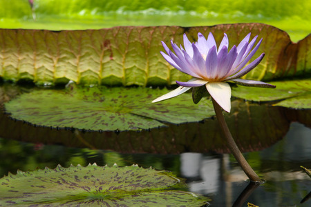 nymphaeaceae: Light purple tropical water lily (Nymphaeaceae) against a green background of pondwater and lily pads.