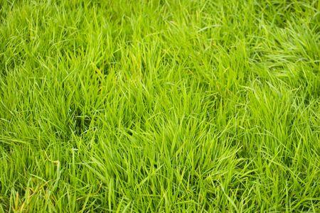 uncut: Una immagine di sfondo del uncut erba Archivio Fotografico