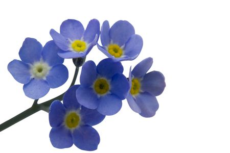 A close up of forget-me-nots with room for copy