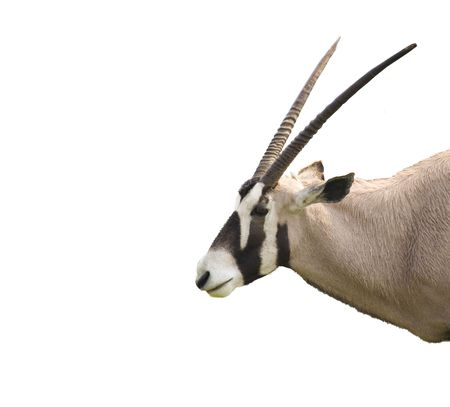 An oryx antelope isolated and in profile photo