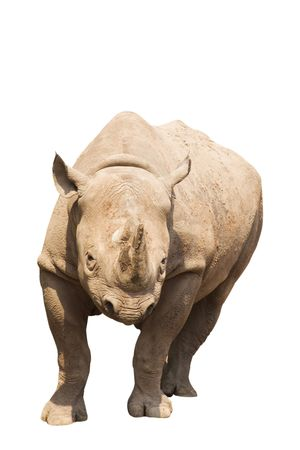 A Rhino ready To charge, isolated on white. Stock Photo