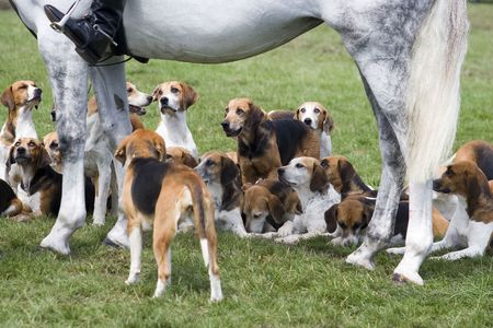 A pack of hounds waiting for their masters command. Stock Photo