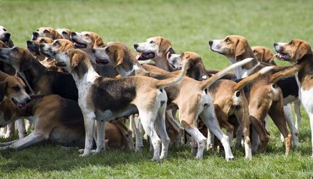 A group of foxhounds ready to hunt