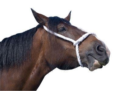 A pedigree shire horse stallion photo