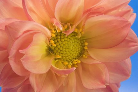 Close up of a dahlia flower with blue sky in the background photo