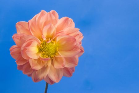 A dahlia with the blue sky in the background, with room for copy sapce. photo