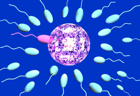 The winning sperm penetrates the egg