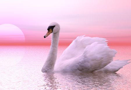 A gracefull swan lit by the dawn light