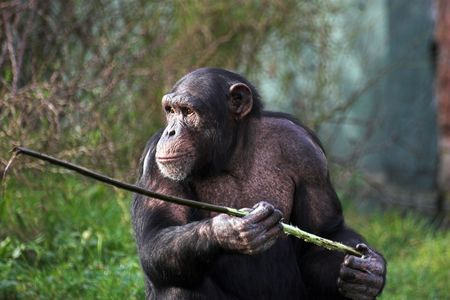 simian: A female chimpanzee holding a stick