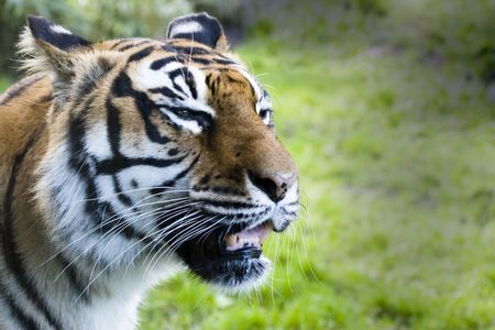 A close up of A Siberian tiger snarling. Stock Photo