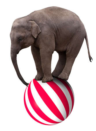 balance ball: A baby circus elephant balancing on a big ball