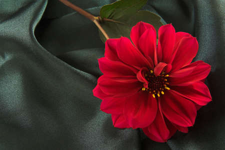 sensuous: A blood red dahlia lying on rich dark satin