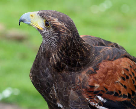stares: A Harris hawk stares regally out