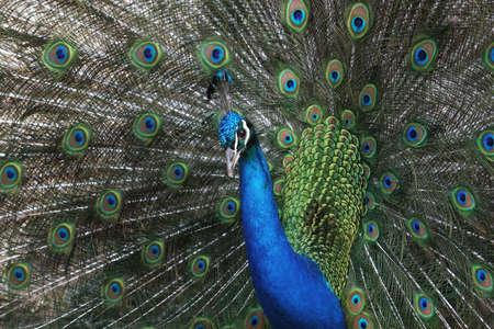 A peacock displays his glorious plumage