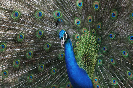 plumage: A peacock displays his glorious plumage