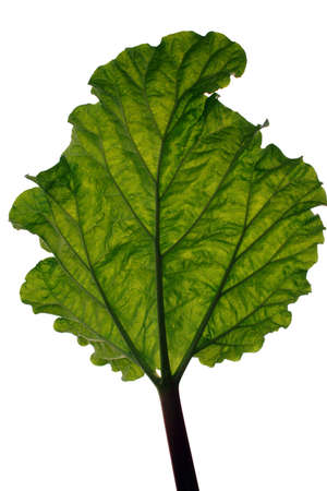 rhubarb: A backlit rhubarb leaf on white