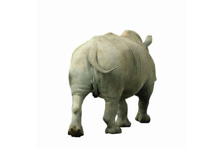 A rhinoceros walking away, isolated on white