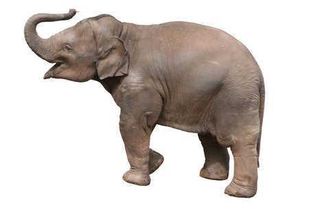 A  elephant, isolated with clipping path. Stock Photo