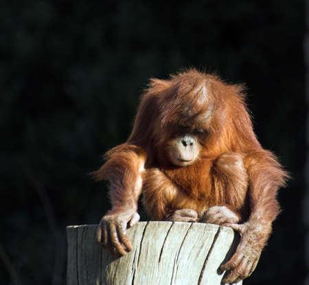 orang: A  orang utan playing on a log