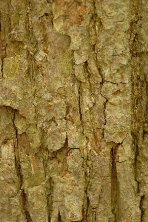 tilia: bark of basswood or tilia americana tree Stock Photo