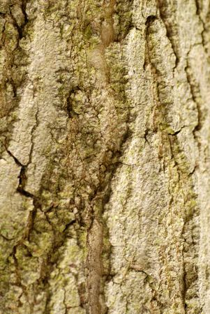 acer: sugar maple or acer saccharum bark Stock Photo