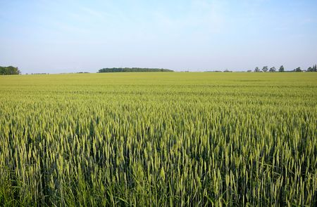 early summer: early summer wheat field in south western ontario