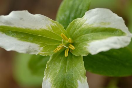 white and green trillium - provincial flower of Ontario Canada Stock Photo - 1007022