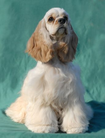cocker spaniel breed with green background (champion bloodlines) Stock Photo
